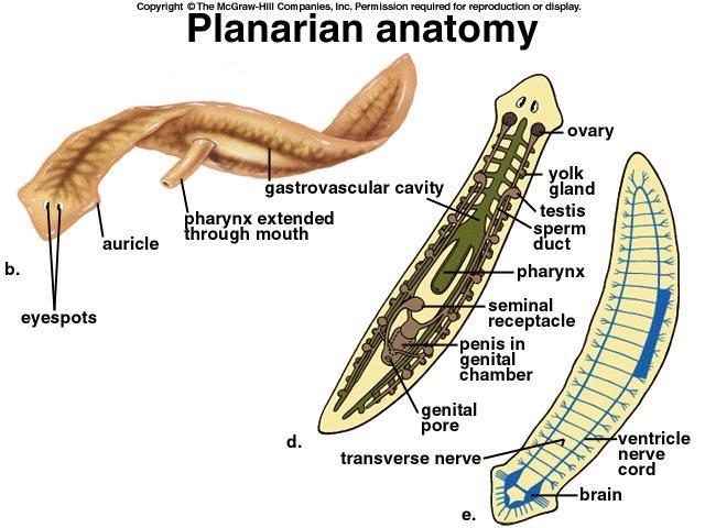 Planarian: Planariidae - Cardiovascular